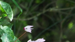 Stock Video Footage of purple and white flowers in the breeze shot in Israel.