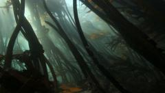 Kelp forest, South Africa underwater Stock Footage