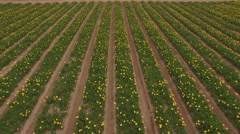 Aerial Flower Farm-Field of Rows Stock Footage