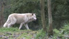 Gray Wolf moving from left to right Stock Footage