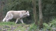 Stock Video Footage of Gray Wolf moving from left to right
