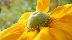 Rudbeckia hirta Irish Spring flower in the garden 4K 3840X2160 30fps  UltraHD Stock Footage