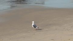 Seagull walking to the waters edge. Stock Footage