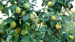 Quince tree branch 3 Stock Footage