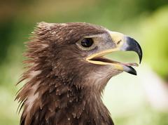 Golden eagle close up Stock Photos