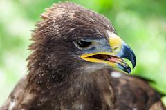 Golden eagle close up - stock photo