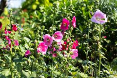 Outdoors Pink HollyHocks in park - stock photo