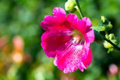 Pink Hollyhock and water drops on Closeup Stock Photos
