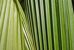 Background of palm leaves close up - stock photo