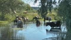 Cows drinking the water from the reservoir Stock Footage