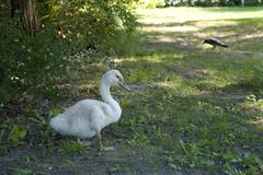 little swan posing - stock photo