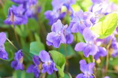 Viola flowers - stock photo