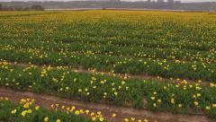 Farm-Aerial field of flowers-Pan up on horizon Stock Footage