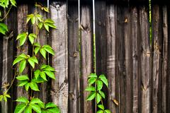 Green leaves of the wild grapes on vintage wooden background with copy space. Stock Photos