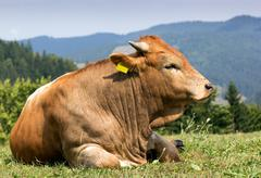 A brown cow with white spots standing on pasture Stock Photos