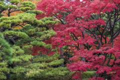 Momiji season in Japan, autumn leaves, very shallow focus - stock photo