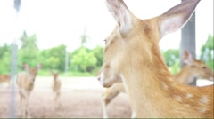 Chital deer in a farm Stock Footage