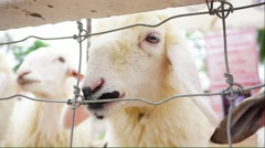 Sheep looking at the camera through the fence Stock Footage