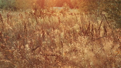 DOLLY MOTION: Vintage color lawn grass at sunset with flare. Vintage golden red Stock Footage