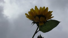 Portrait of a sunflower in the field - stock footage