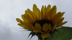 Portrait of a sunflower in the field Stock Footage