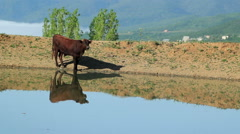 cow in the meadow near the water - stock footage