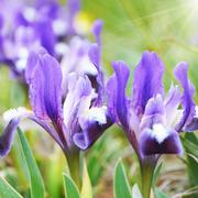 Flowerbed of purple irises Stock Photos