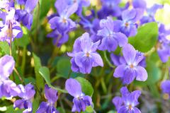 Viola flowers Stock Photos
