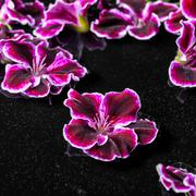 Beautiful composition of dark purple geranium flower with dew in water, Royal Stock Photos
