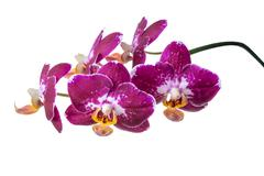 blooming branch of dark purple with white orchid, phalaenopsis is isolated on - stock photo