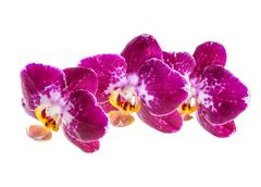 Stock Photo of blooming branch of dark violet with white orchid, phalaenopsis is isolated on