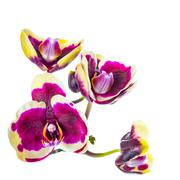 blooming branch of dark purple with yellow rim orchid, phalaenopsis is isolat - stock photo