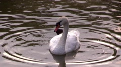 Swan on a pond in the city park in the town of Bad Pyrmont in Germany Stock Footage