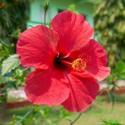 Hibiscus rosa sinensis Stock Photos