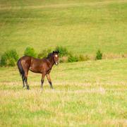 Dark bay horse - stock photo