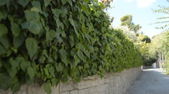 Well Trimmed Leaves Wall - stock footage