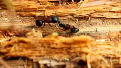Communication of  two insects ants macro Stock Footage