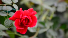 Red rose moving in the wind at garden Stock Footage