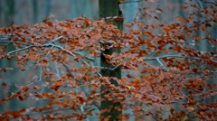 Autumnal tree loosing leaves Stock Footage