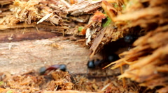 Meeting and the behavior of insects ants macro Stock Footage