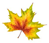 Beautiful autumn leaf, rich in color and detail - stock photo