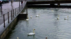 White Swans swimming in Lucerne Switzerland Lake. Looking for tourist food Stock Footage