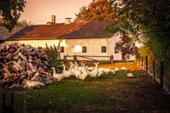 Geese at a farm house - stock photo