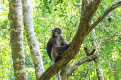 Dusky Langur sitting on tree branch Stock Photos