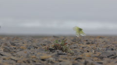 North fall: last Arctic poppy (Novaya Zemlya archipelago) Stock Footage