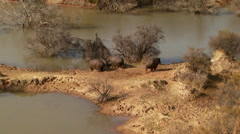 Hippopotamus walking near riverbank Stock Footage