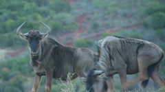 Two wildebeests in ranch Stock Footage