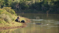 Stock Video Footage of Hippopotamus on riverbank