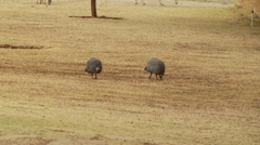Guineafowl grazing in farm Stock Footage