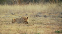 Stock Video Footage of Lioness licking her paw in ranch